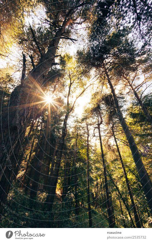 Kiefernbergwald in der Sommersaison schön Erholung Meditation Sonne Berge u. Gebirge Natur Landschaft Pflanze Herbst Wärme Baum Blatt Wald Hügel Frieden