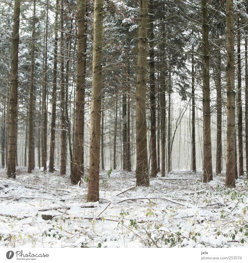 winterwald Umwelt Natur Pflanze Winter Schnee Baum Grünpflanze Baumstamm Wald natürlich braun grün weiß Farbfoto Außenaufnahme Menschenleer Tag