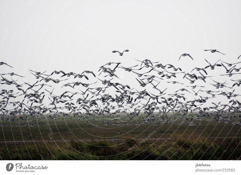 Branta canadensis Wildtier Schwan Flügel fliegen ästhetisch Gans Kanada Nordseeküste Kanadagans Fressen schnattern Braten weihnachtsganz Gedeckte Farben Tag