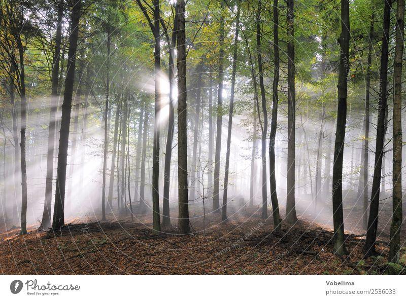 Sonnenstrahlen im Wald Natur Landschaft Nebel Baum Stimmung Lichtstrahl sonnig Farbfoto Außenaufnahme Textfreiraum unten Morgen Tag Sonnenlicht