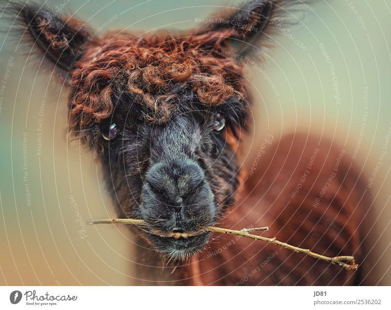 Ich bin Horst Tier Nutztier Tiergesicht Zoo Streichelzoo 1 füttern Gefühle Freude Glück Fröhlichkeit Zufriedenheit Lebensfreude Alpaka frech lustig niedlich