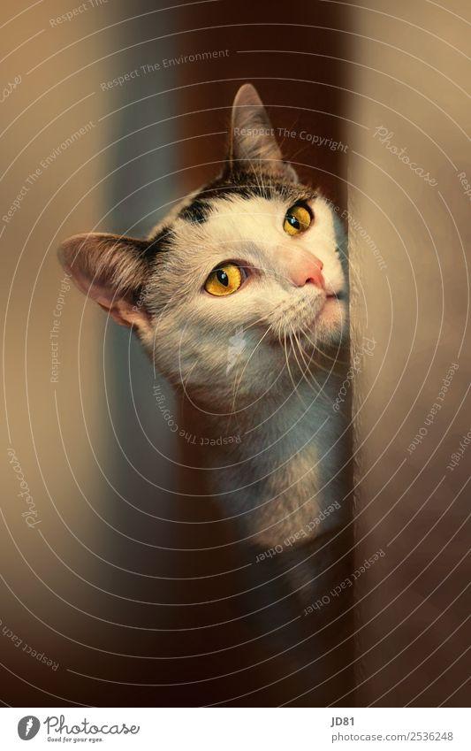 Vorwitzen Haustier Katze 1 Tier beobachten träumen Spielen Neugier niedlich schön Auge Stimmungsbild Farbfoto mehrfarbig Innenaufnahme Nahaufnahme Menschenleer