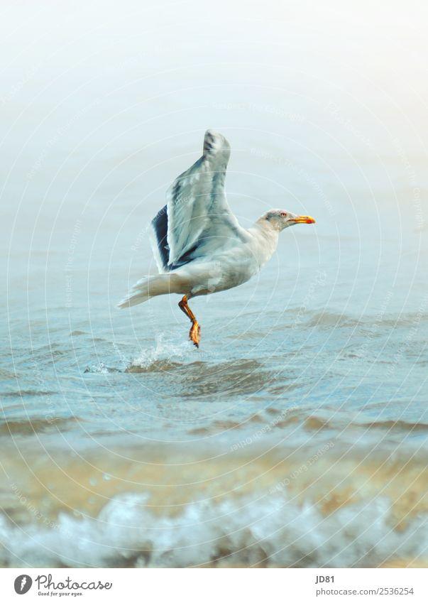 Im Aufschwung Umwelt Natur Wasser Wolkenloser Himmel Sommer Wetter Schönes Wetter Wellen Strand Nordsee Tier Vogel 1 anstrengen Bewegung Erholung nachhaltig