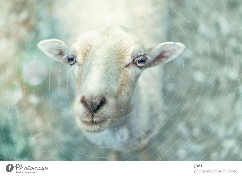 Echt VerSCHAFt Park Nutztier Tiergesicht Zoo 1 nah Schaf Appetit & Hunger Neugier Tierporträt Farbfoto Gedeckte Farben Außenaufnahme Nahaufnahme