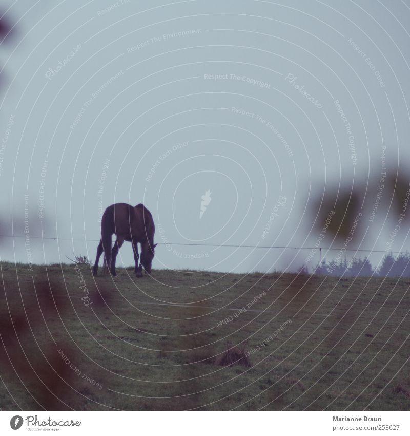 Im Freien 2 Natur Nutztier füttern blau grün Pferd Weide Gras Fressen Landschaft Jahreszeiten Herbst November Niederschlag Tau Nebel Morgennebel Tier Fohlen