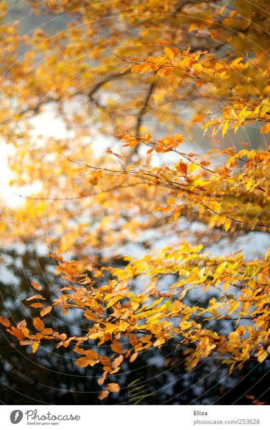 Autumnlove Landschaft Herbst Baum hell Blatt Wald Wasser Laubbaum gelb Ast See Birke herbstlich Natur mehrfarbig Außenaufnahme Menschenleer