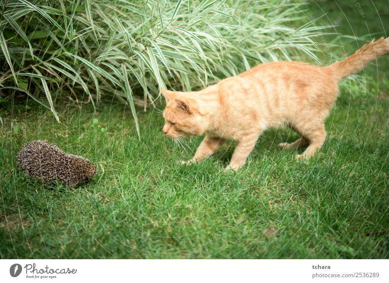 Orange Katze und Igel Garten Freundschaft Kunst Natur Tier Herbst Gras Moos Blatt Wald schlafen klein natürlich niedlich stachelig wild braun grau grün Schutz