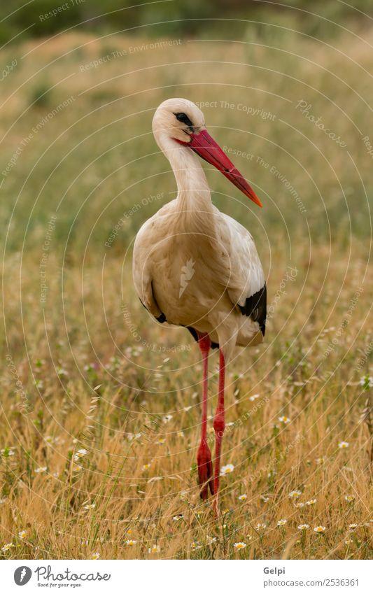 Eleganter Weißstorch beim Spaziergang elegant schön Freiheit Paar Erwachsene Natur Tier Wind Blume Gras Vogel fliegen lang wild blau grün rot schwarz weiß Farbe