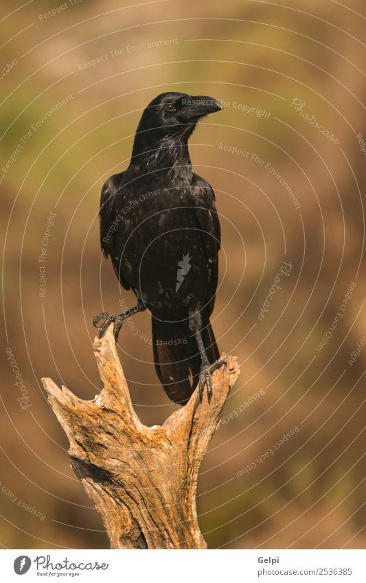 Helles schwarzes Gefieder einer Krähe Natur Tier Park Totes Tier Vogel beobachten fliegen stehen dunkel hell wild Rabe Tierwelt Schnabel Feder Krallen Feld