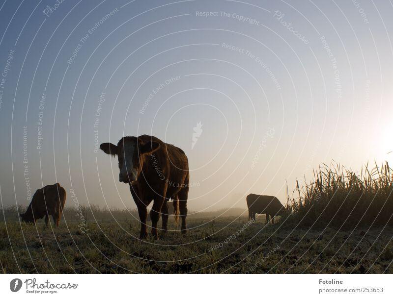 Muuuhhhhh! Himmel Natur Pflanze Tier kalt dunkel Wiese Herbst Umwelt Gras Nebel natürlich Kuh Nutztier Wolkenloser Himmel