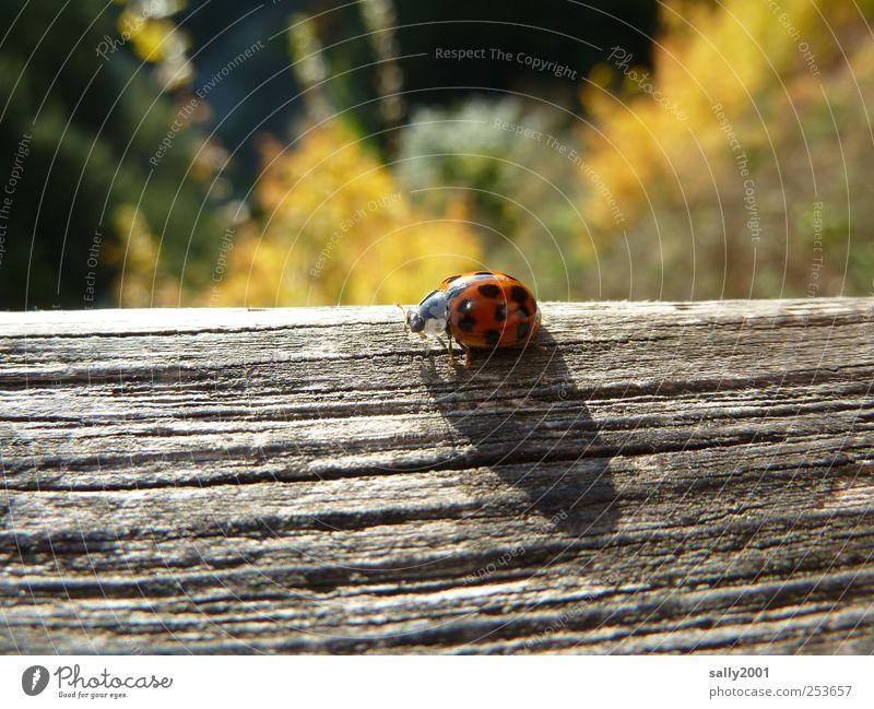 Herbstliches Glücksbringerchen Natur rot Tier Holz sitzen natürlich Insekt Punkt Käfer krabbeln Marienkäfer herbstlich gepunktet Balken