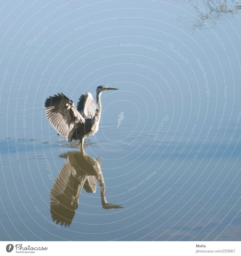 Reiherlei Umwelt Natur Tier Wasser Teich See Vogel Flügel Graureiher Feder gefiedert 1 Bewegung stehen frei natürlich blau Freiheit Stolz beeindruckend Farbfoto