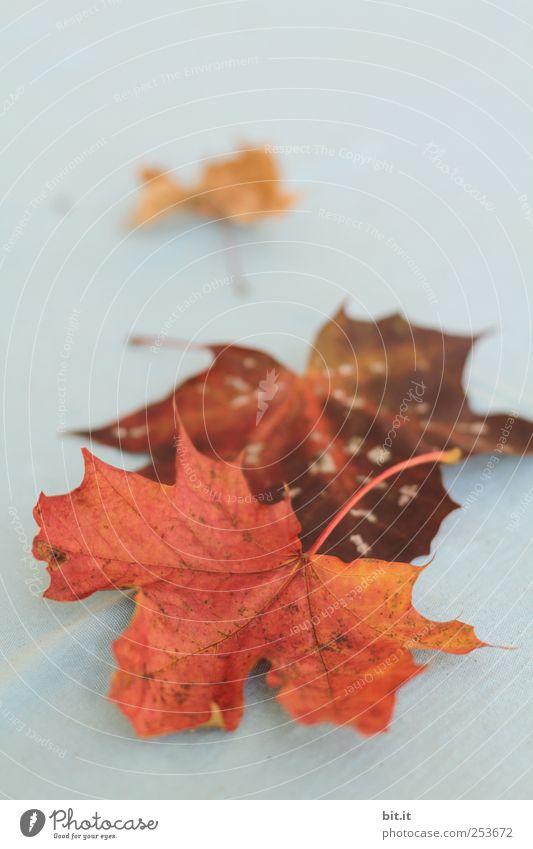 Blätter [CHAMANSÜLZ] Umwelt Natur Pflanze Herbst liegen dehydrieren trocken braun rot Vergänglichkeit Wandel & Veränderung Herbstlaub herbstlich Herbstbeginn