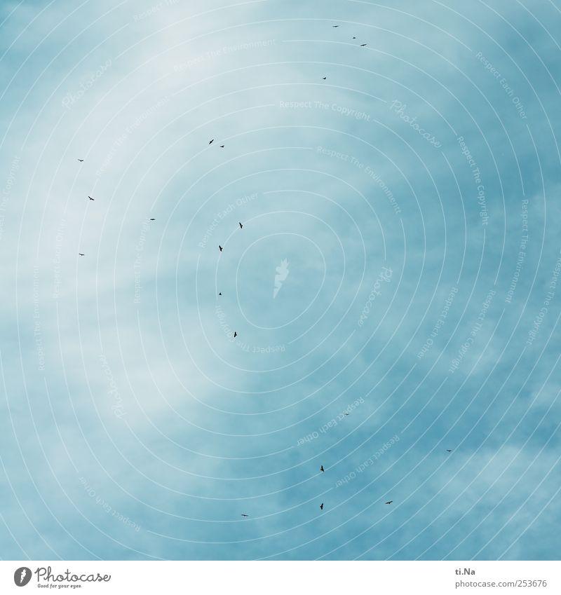 Gemeinsam einsam blau weiß Wolken schwarz Tier Umwelt Luft Zusammensein fliegen wild ästhetisch Klima Wildtier Jagd Schönes Wetter Schwarm