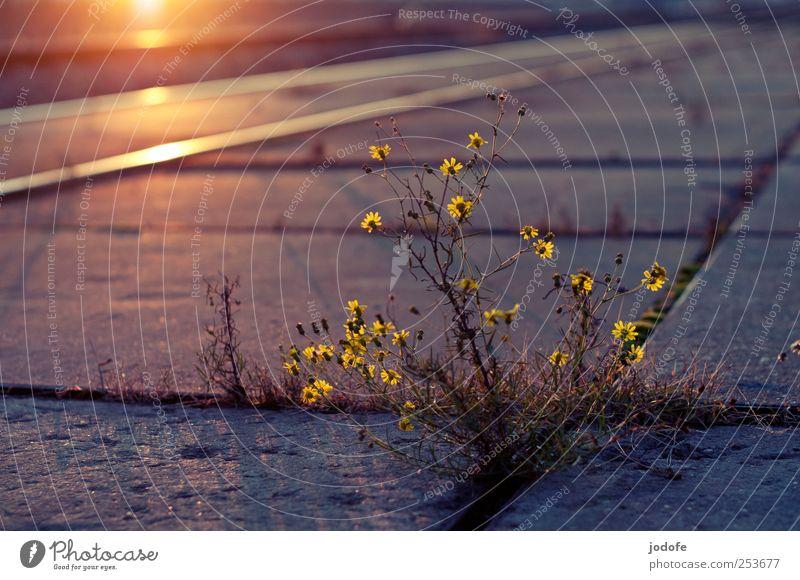 B@DD 11 | Urban Nature Pflanze Blume gelb Herbst Umwelt Frühling Beleuchtung Erde gold Hafen Gleise Stadtleben Abendsonne Leben Verkehr
