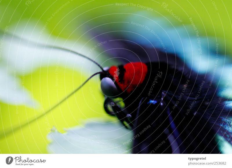 Farbenpracht Natur Wildtier Schmetterling Insekt Fühler Facettenauge grün mehrfarbig Unschärfe 1 Tier Nahaufnahme Detailaufnahme Momentaufnahme blau türkis