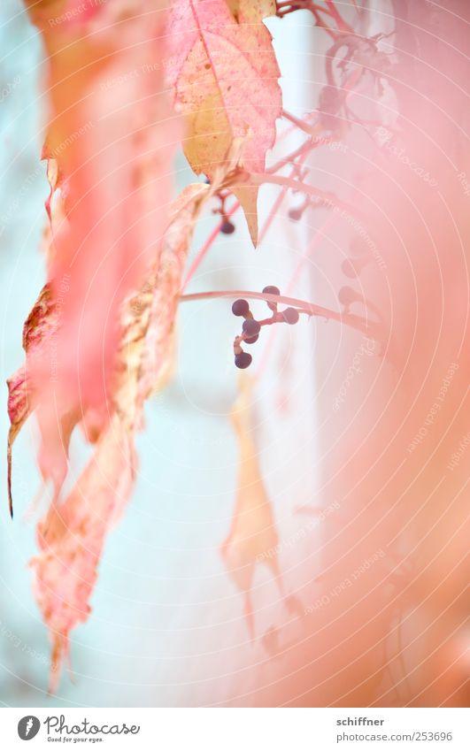 Böbbels für Jungs Pflanze Blatt Herbst orange rosa zart Stengel leicht Herbstlaub Beeren zerbrechlich filigran herbstlich Färbung Herbstfärbung Blätterdach