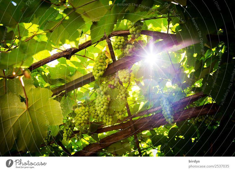 Die Sonne , der Wein Frucht Weintrauben Ernährung Landwirtschaft Forstwirtschaft Sonnenlicht Sommer Schönes Wetter Nutzpflanze glänzend leuchten Wachstum