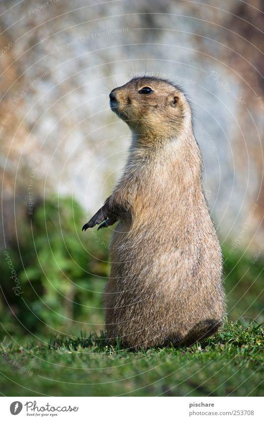 gestatten, krempl. Natur Tier Wiese stehen beobachten Neugier Schüchternheit Präriehund