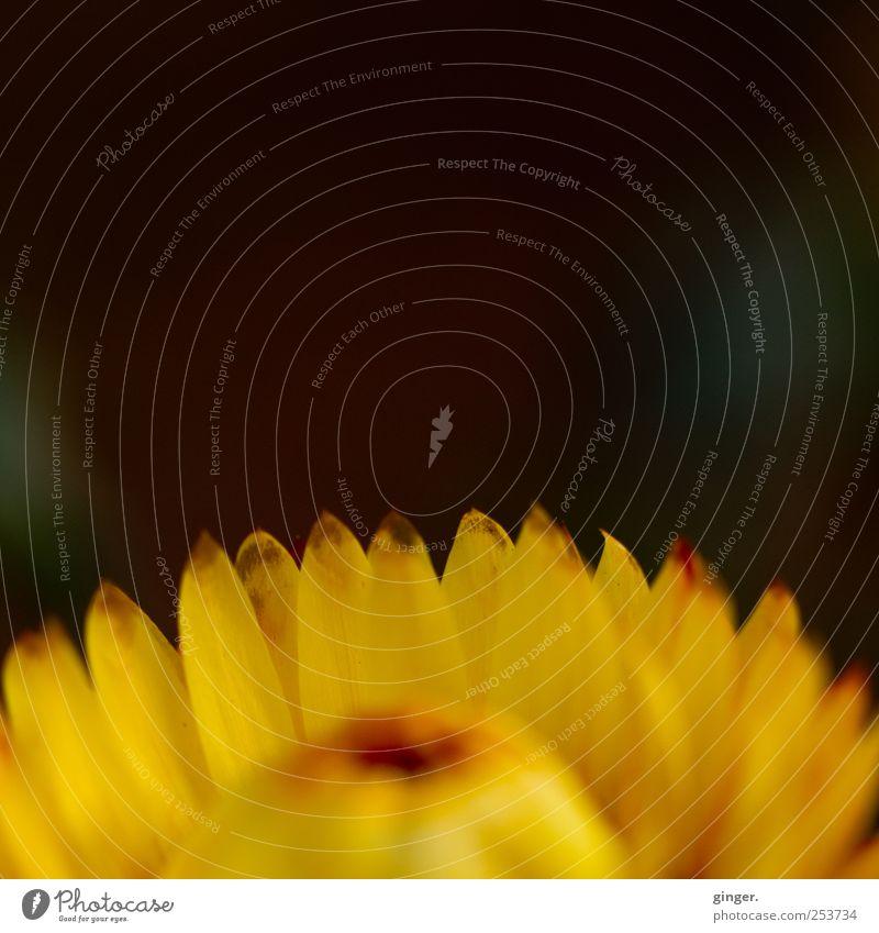 Nix als Stroh Natur Pflanze Blume Blüte trocken gelb Strohblume fest strohig unverwüstlich robust hell dunkel Blütenblatt Farbfoto mehrfarbig Außenaufnahme