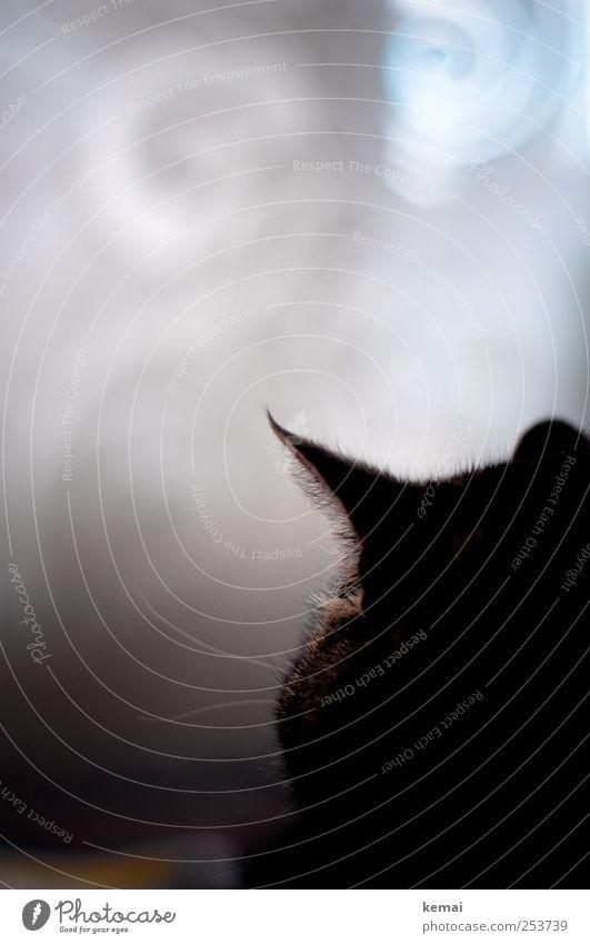 Zwei Schnurrhaare Katze weiß schwarz dunkel grau Innenarchitektur Wohnung Dekoration & Verzierung Häusliches Leben Ohr Fell Haustier Gardine hinten Schatten
