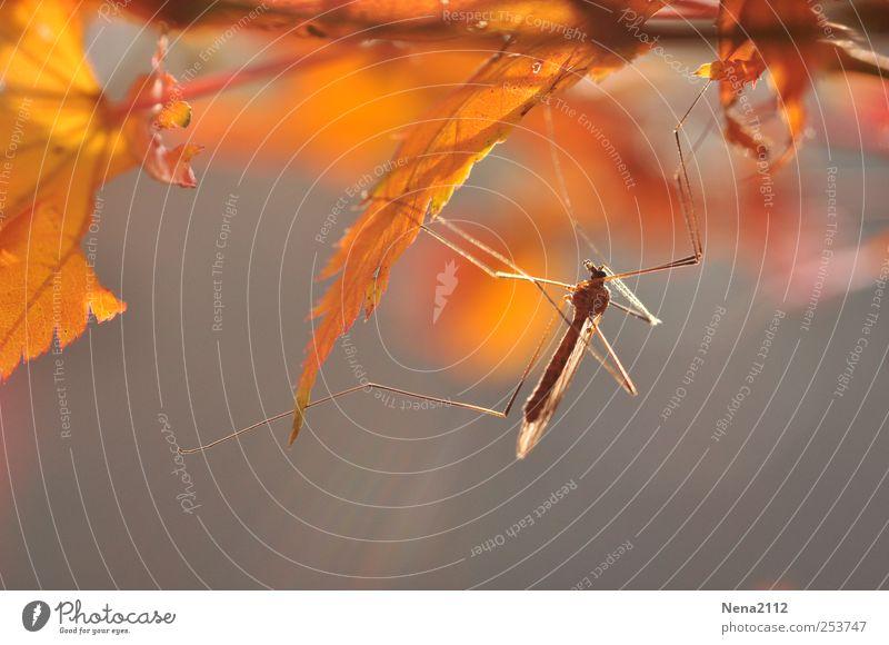 Letztes Sonnenbad Umwelt Natur Pflanze Tier Luft Herbst Klima Wetter Schönes Wetter Baum Sträucher Blatt 1 ästhetisch gelb gold Insekt Stechmücke Mückenplage