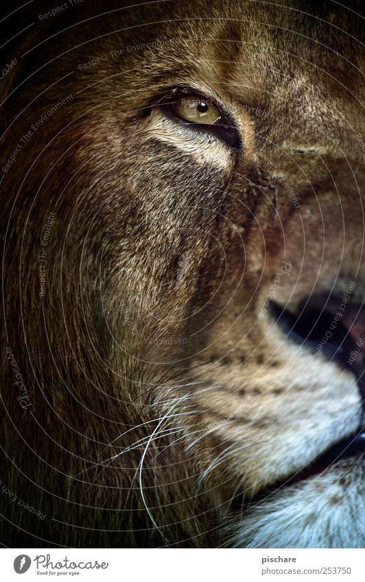gestatten, king kalle Natur Tier wild ästhetisch beobachten Tiergesicht Zoo Wachsamkeit exotisch König Löwe Katze
