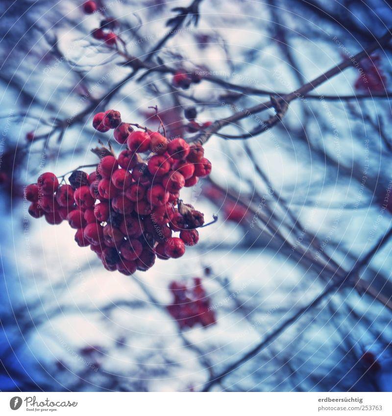 Vogelbeer'n Natur Pflanze Erde Baum Vogelbeerbaum Vogelbeeren Beeren Zweige u. Äste hängen dehydrieren Wachstum dunkel kalt blau rot Herbst Winter