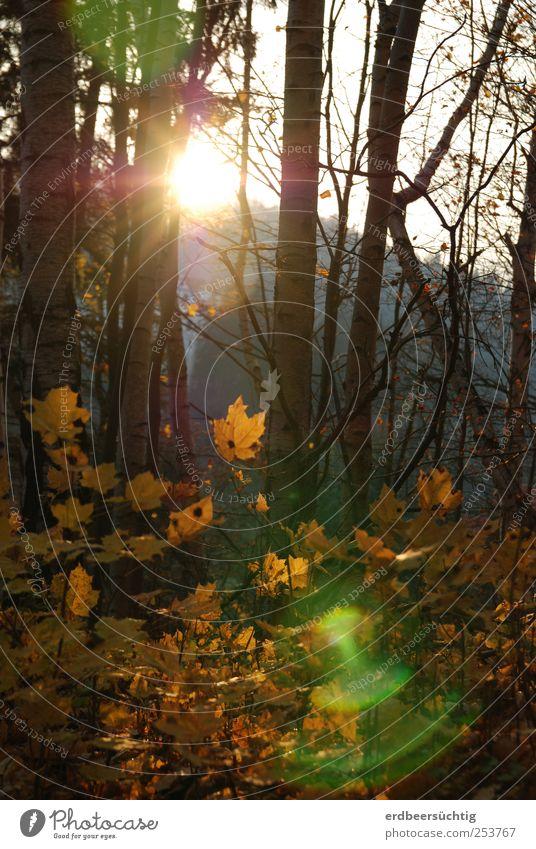 Unbekanntes Lichtphänomen vor heimischem Herbstwald Natur Baum Pflanze Blatt Wald Energie Sträucher leuchten Idylle Schönes Wetter verblüht dehydrieren Laubwald