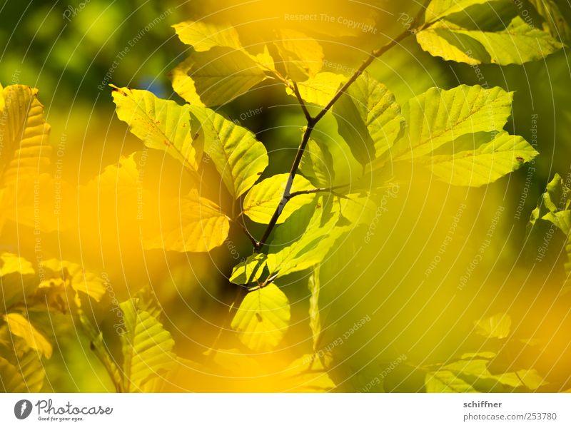 Farbrausch I grün Baum Pflanze Blatt Wald gelb Herbst leuchten Ast Schönes Wetter Herbstlaub herbstlich Laubbaum Herbstfärbung Blätterdach