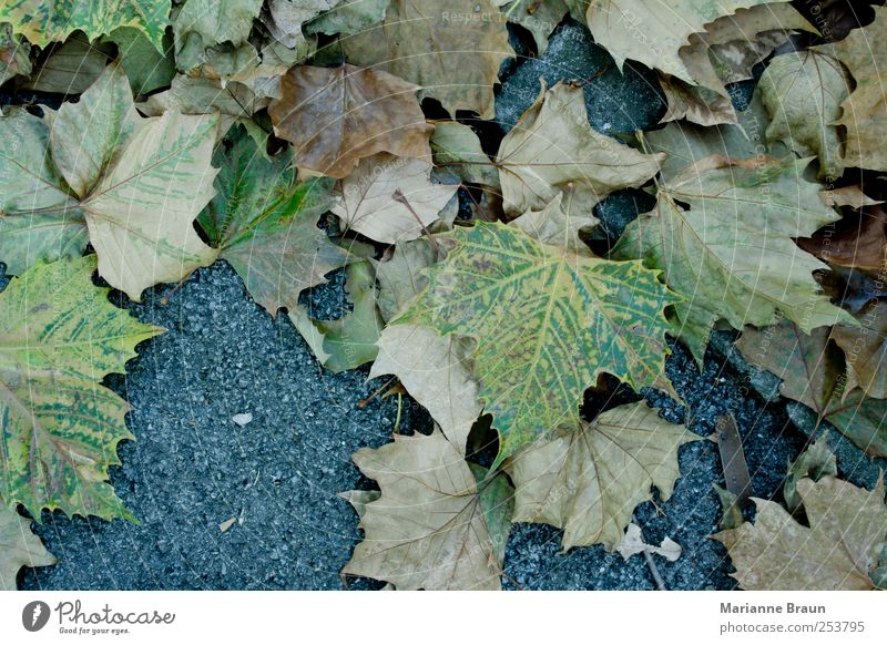 Ahornblätter Natur Herbst Park braun gelb grün schwarz Ahornblatt Boden Blatt Herbstlaub November Jahreszeiten Fußweg Blattfall Herbstfärbung mehrfarbig