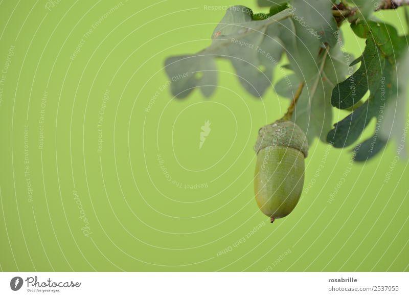 grüne Eicheln 5 Natur Sommer Pflanze Farbe Baum Blatt Herbst Umwelt natürlich Feld Wachstum einzeln Spitze Ast rund