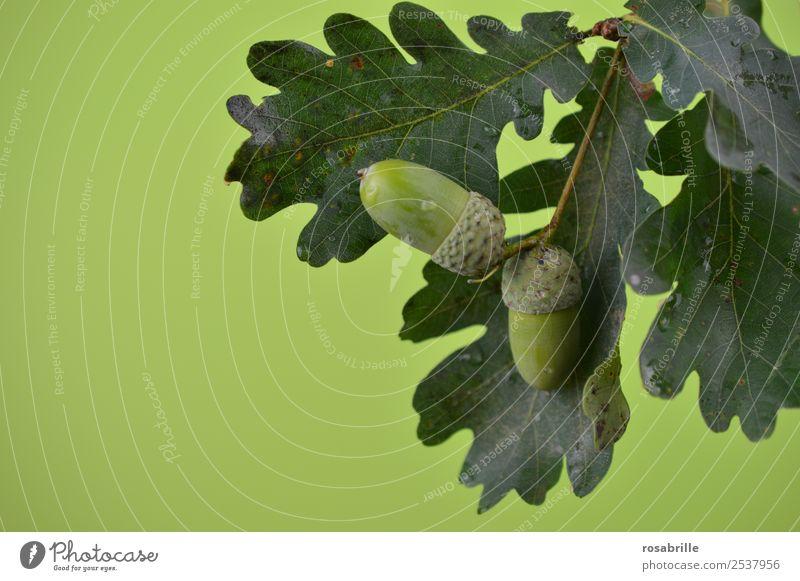 grüne Eicheln 3 Umwelt Natur Pflanze Sommer Herbst Baum Blatt Eichenblatt Ast Zweig Samen Frucht Feld hängen Wachstum natürlich rund Hoffnung reif unreif