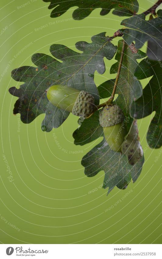 grüne Eicheln 4 Umwelt Natur Pflanze Sommer Herbst Baum Blatt Eichenblatt Ast Zweig Feld Detailaufnahme hängen Wachstum natürlich rund achtsam reif unreif
