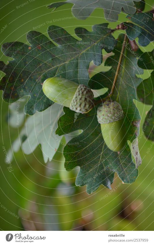 grüne Eicheln 2 Umwelt Natur Pflanze Sommer Herbst Baum Blatt Eichenblatt Feld hängen Wachstum natürlich rund achtsam Wandel & Veränderung reif Jahreszeiten