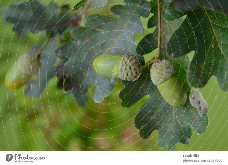 grüne Eicheln 1 Umwelt Natur Pflanze Sommer Herbst Baum Blatt Eichenblatt Feld hängen Wachstum natürlich rund achtsam Zufriedenheit Leben reif ökologisch