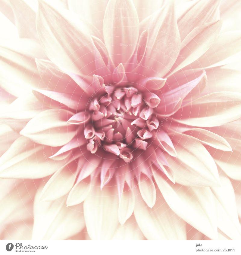 fleur Umwelt Natur Pflanze Blume ästhetisch natürlich schön rosa weiß Farbfoto Außenaufnahme Menschenleer Tag Zentralperspektive