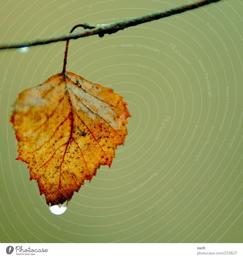 Blattgold Natur Wassertropfen Herbst schlechtes Wetter Nebel Regen Pflanze Baum Grünpflanze Ast Zweig Holz hängen braun grün Jahreszeiten Ende Farbfoto