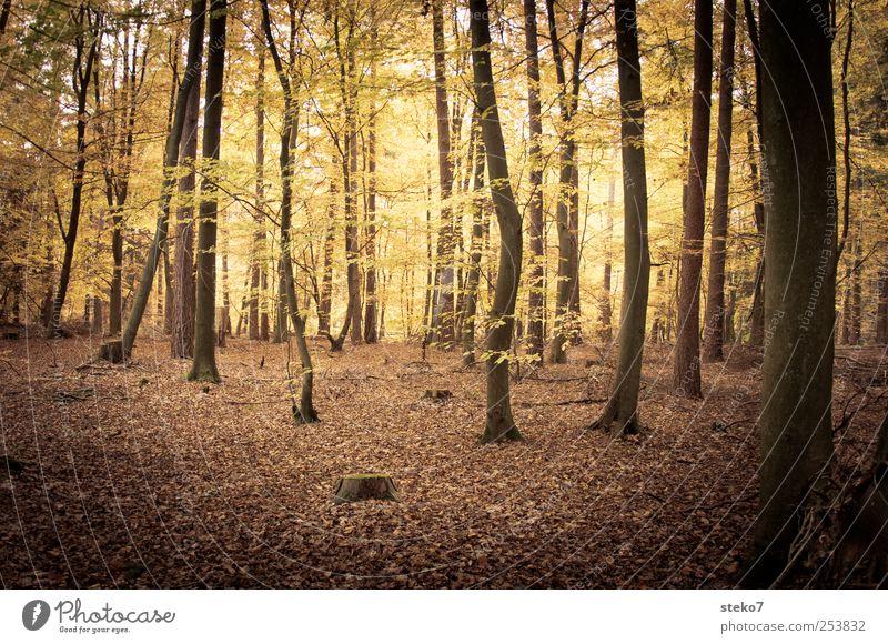 Waldlicht Natur Herbst Baum braun gelb gold Buchenwald mystisch Laubwald Blatt Gedeckte Farben Außenaufnahme Menschenleer Kontrast Sonnenlicht