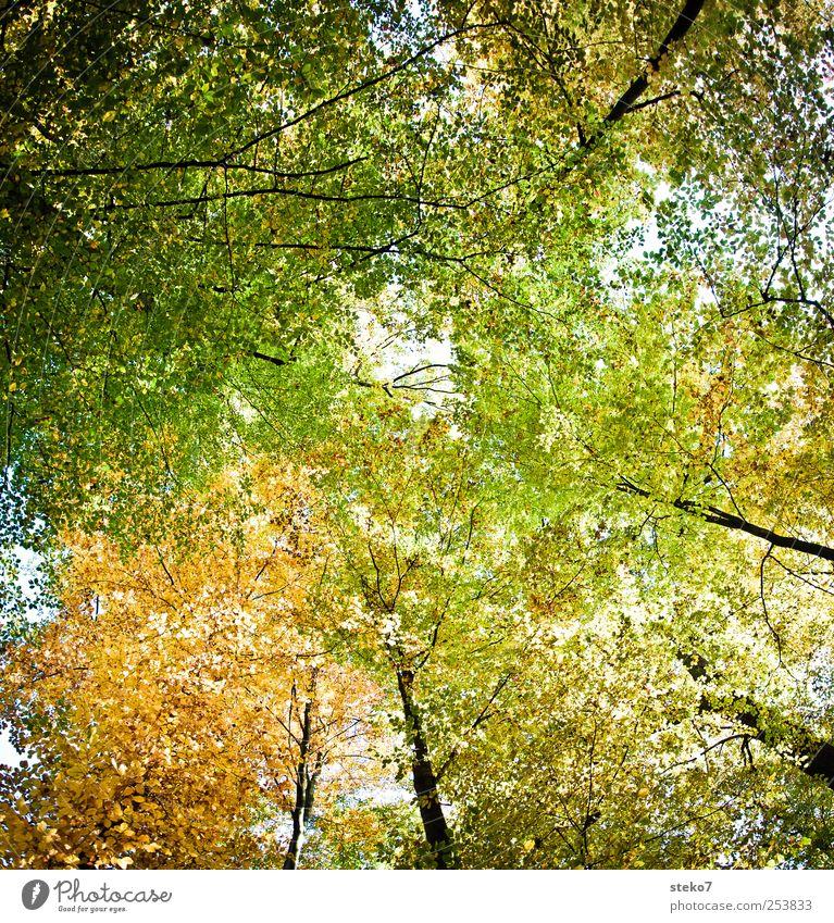 stark belaubt Herbst Baum Blatt Wald gelb grün Blätterdach Baumkrone Laubwald Farbfoto Außenaufnahme Menschenleer Sonnenlicht Froschperspektive Blick nach oben