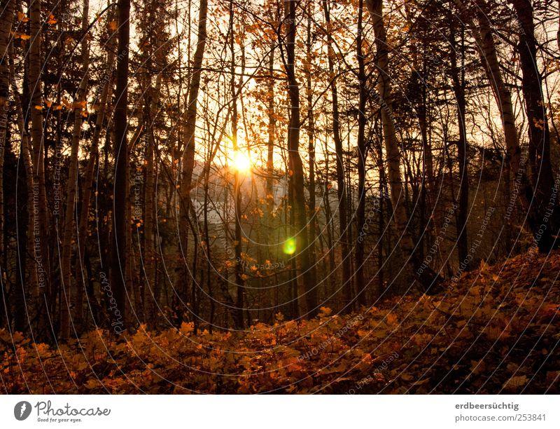 Ein letztes Leuchten Natur Baum Pflanze Blatt ruhig Wald kalt Herbst Umwelt Landschaft Zeit gold leuchten Vergänglichkeit Idylle Jahreszeiten