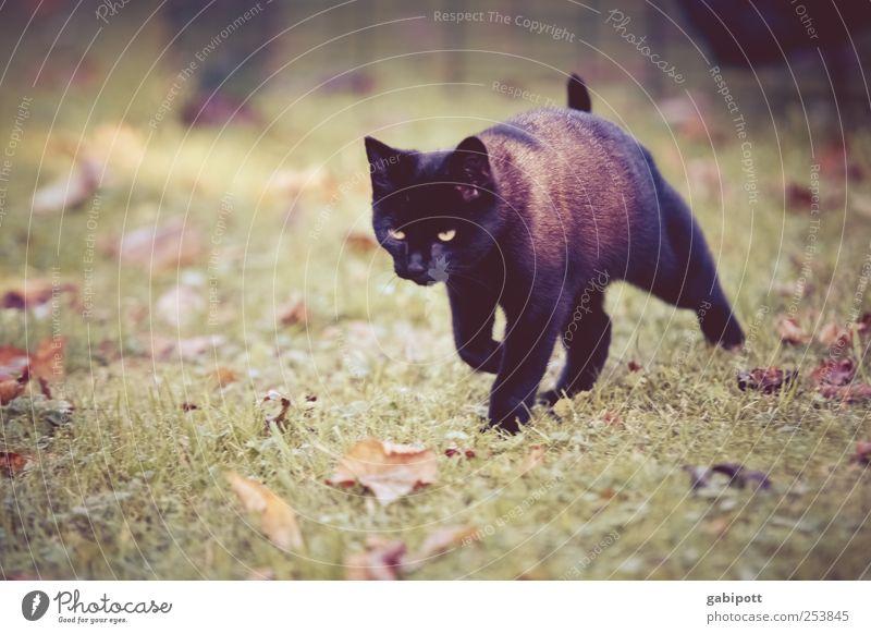 Schwarze Katze von rechts Natur schön Tier schwarz Wiese Leben Freiheit Landschaft Bewegung Wege & Pfade Tierjunges gehen laufen Abenteuer Geschwindigkeit