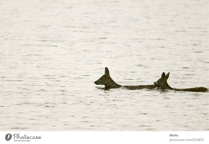 """""""Mamaaa, ich will nicht nach Amerika!"""" Natur Wasser Tier Leben Freiheit Umwelt See Tierjunges Zusammensein frei Schwimmen & Baden natürlich Wildtier außergewöhnlich Teich"""