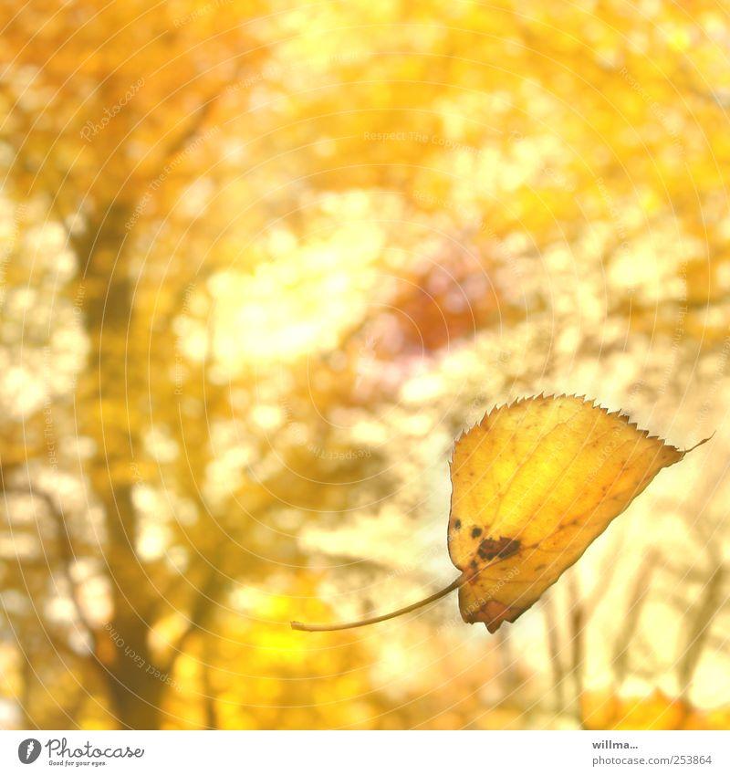 herbstreise Natur schön Baum Pflanze Blatt Wald gelb Erholung Farbe Herbst Landschaft Park hell Wind gold natürlich