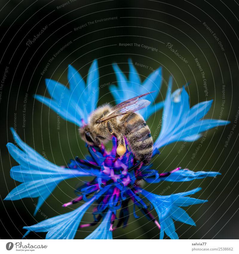 Kornblume Natur Pflanze Sommer Blume Blüte Wildpflanze Garten Feld Tier Nutztier Biene Honigbiene Insekt 1 Blühend Duft ästhetisch blau Farbe fleißig bestäuben