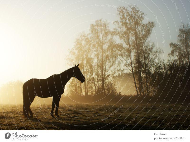 Hüh! Umwelt Natur Landschaft Pflanze Tier Urelemente Erde Himmel Wolkenloser Himmel Herbst Nebel Baum Feld Pferd hell natürlich Farbfoto Gedeckte Farben
