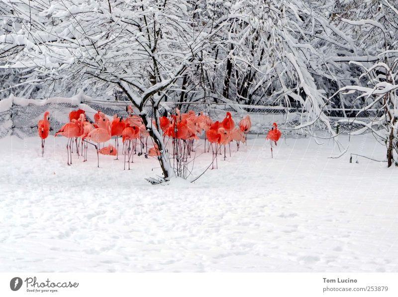 Flamingos im Schnee weiß schön rot Stimmung Zusammensein stehen Tiergruppe