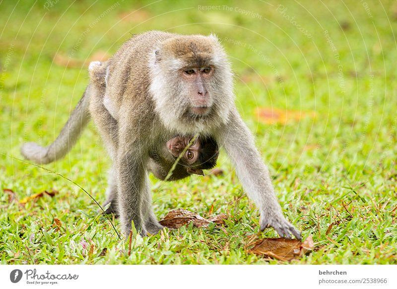 liebend anhänglich Ferien & Urlaub & Reisen Tourismus Ausflug Abenteuer Ferne Freiheit Wiese Wildtier Tiergesicht Fell Affen longtailmakaken 2 Tierjunges