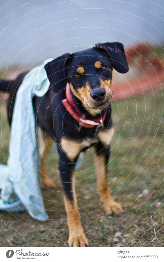 Gibt's Frühstück? Tier schwarz Hund Freundlichkeit Appetit & Hunger Haustier Fragen Tuch Treue Nutztier Hundehalsband angekettet