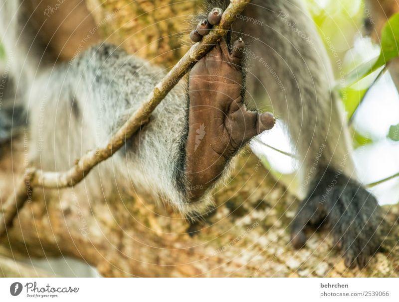 füße für willma;) Ferien & Urlaub & Reisen Tourismus Ausflug Abenteuer Ferne Freiheit Wildtier Fell Affen haubenlangur Tierfuß Zehen 1 außergewöhnlich exotisch